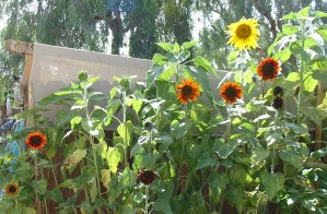 sunflowers 001